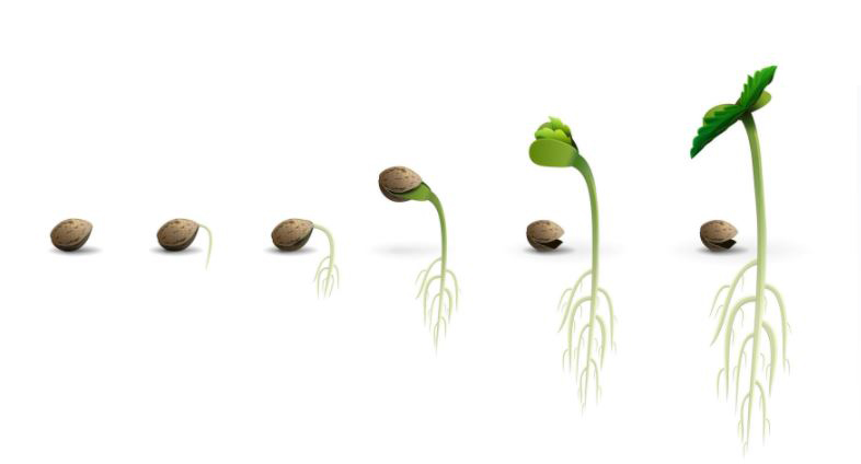 STAGES-OF-CANNABIS-SEED-GERMINATION-INSANE-SEEDS-BUY-CANNABIS-SEEDS-TODAY
